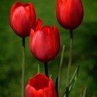 ¿Cuál es el significado de tulipanes rojos?