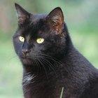 Los mejores tratamientos para los piojos en los gatos