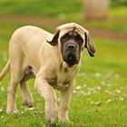 Medicamento para acne em filhotes de cachorro