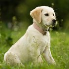 Cost of Cataract Surgery for Dogs