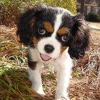 Quais os tratamentos para a infecção por salmonela em cães?