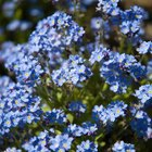 Lista de arbustos con flores azules