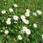 Margarita flowers information