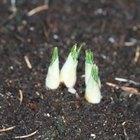 How to Plant Ixia Bulbs