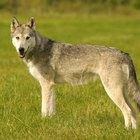 Qual é o maior lobo do mundo?
