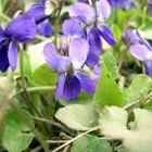 Qual o significado da flor violeta?