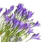 When to plant Brodiaea?