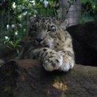 Cómo poseer un leopardo de mascota