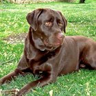What Are the Causes of Bloodshot Eyes on Chocolate Labrador Dogs?
