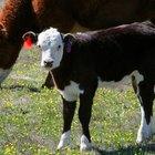 Como calcular o dia em que a vaca vai parir