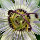 Is The Passion Flower Poisonous to Dogs?