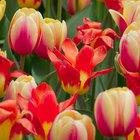 Cómo comprar bulbos de tulipanes de Holanda