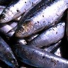 Dicas para usar sardinhas como isca de pesca