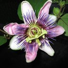 Passion flowers interaction with ashwagandha