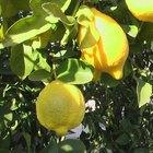 Etapas de crecimiento de un limonero