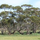 How Do Eucalyptus Trees Reproduce?