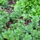 ¿Para qué se pueden usar las hojas de menta?