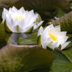 Adaptations for Pond Plants