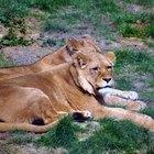 ¿Cómo se adaptan los leones a su ambiente?