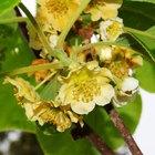 Diferença em plantas de kiwi masculino e feminino