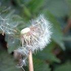 Por que as pessoas amam soprar a flor dente-de-leão