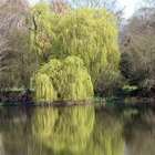 Where to Find a Diamond Willow Tree