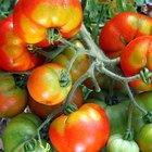 ¿Es el azúcar un buen fertilizante para las plantas de tomate?
