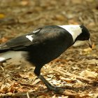 How to get rid of magpie birds