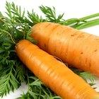 Ciclo de vida de la planta de la zanahoria