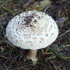 Tipos de hongos que crecen en el jardín