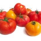 ¿Cuál es la fisiología de la planta del tomate?