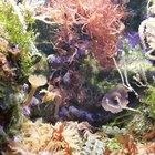 ¿Cómo se reproducen las algas?