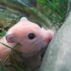 Como tratar um hamster com diarreia