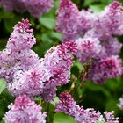 How to remove lilac bush roots