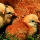 Cómo hacer una incubadora para empollar pollitos