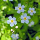 How do I draw a forget-me-not flower?