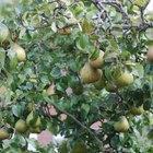 Cómo revivir un viejo árbol de pera