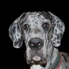 Needs of Great Danes