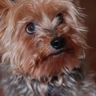 Seizures in Yorkie Terriers