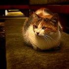 Sintomas de um gato com a pata torcida