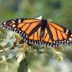Como as borboletas se defendem?