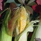 Información sobre las semillas de maíz de Pioneer