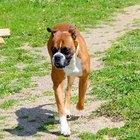 Boxer Hip Dyplasia