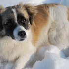 Tratamientos para la insuficiencia cardíaca congestiva en perros