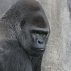 The Silverback Gorilla's Diet