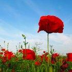 ¿Todas las plantas de amapola contienen opio?