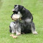 Neurological problems in miniature schnauzers