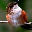 Flores polinizadas por colibríes