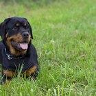 Cómo entrenar a un Rottweiler para que sea un animal doméstico para familias