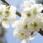 How to Prune Dwarf Cherry Trees